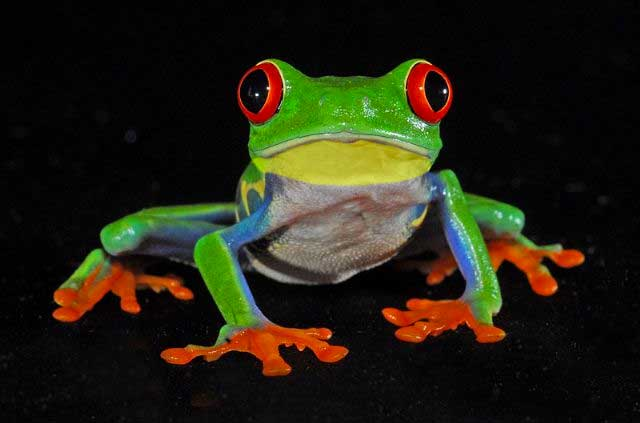 Rare Tasmanian Tree Frog Found